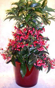 Красное ожерелье ардизии.  Этот удивительный экзот из разряда вечнозеленых комнатных растений привлекает не цветением, и даже не импозантной густой кроной, а ягодами. Ярко-красные, собранные в гроздья, они причудливо расположены и как бы опоясывают деревца. Но благодаря им ардизия превращается в роскошное украшение всего интерьера. Фото: © ines quintana