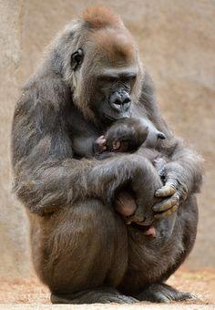 Western lowland gorilla, Kokamo, shows her newborn baby girl some sweet love <3