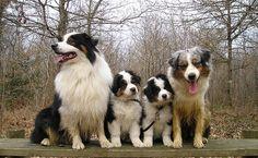 Australian Shepherds Super Cute Animals, Like Animals, Blue Merle, I Love Dogs, Cute Dogs, American Shepherd, Mini Australian Shepherds, Aussie Dogs, Animal Magic