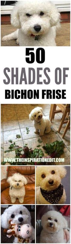 Bichon Frise dogDo you love dogs? Here are 50 adorable Bichon Frise Dogs to make your heart melt. They are cheeky, cute and full of mischief... come take a look...