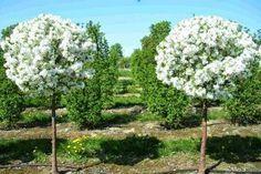 Все, что выросло на 20-30 см вы постоянно укорачиваете до 3-4 почек. Всего через пару лет ваше деревце станет аккуратным густым и красивым шариком, утыканным плодушками.