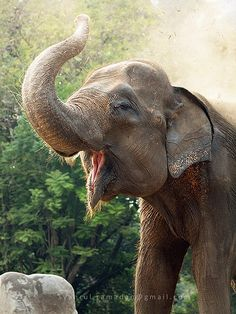 a sumatran elephant a subspecies of asian elephant was showering its body with dust.