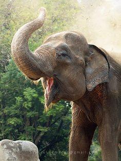 a sumatran elephant a subspecies of asian elephant was showering its body with dust. Asian Elephant, Elephant Love, Elephant Art, Nature Animals, Zoo Animals, Animals And Pets, Cute Animals, Elephants Photos, Elephant Pictures