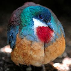 Bleeding Love: The Bleeding-heart Dove - No, this bird is not wounded. It's name comes from the splash of bright red color in the middle of its white chest that makes it appear like it's hurt. The redness extends down its belly, making it seem as if blood is running down from the wound.