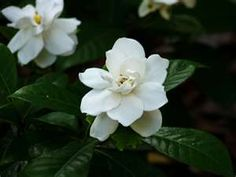 Gardenias MUST be what heaven smells like.