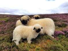 Black Nose Sheep from Scotland