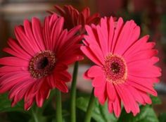 Interiors | How to Care for Potted Gerbera Daisies | Place potted daisies in a brightly lit window where there is no direct sunlight. | Water as the soil becomes dry to the touch. Avoid over-watering, which will drown the roots of the daisy. | Apply a liquid fertilizer every 3 to 4 weeks. Mix half strength when using it for potted plants. | Prune the daisy regularly to remove spent stems and dead or dying leaves.