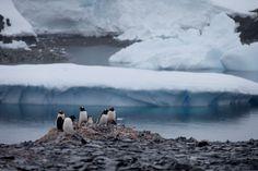 In this Jan. 22, 2015 photo, Gentoo penguins stand on rocks near the Chilean station Bernardo O'Higg... - AP Photo/Natacha Pisarenko