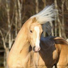 Karolina Wengerek  - welsh pony stallion