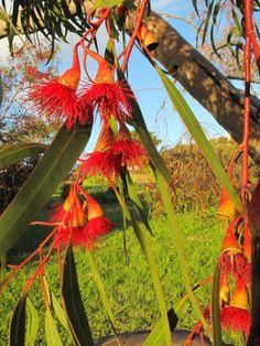 Red Flowering Gum Tree , on Bruny Island , off Tasmania. Australia. repinned by @OzeHols