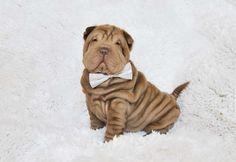 Shar Pei Puppies! Soooooo cute :)