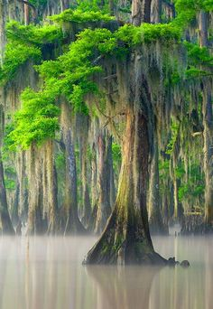 "janetmillslove: "" . moment love Cypress Tree with Spanish Moss """