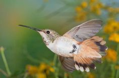 This time, a female Allen's hummingbird triggered the sensor while performing some aerobatics. By Roy Dunn