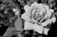 THE POLE OF INACCESSIBILITY:   ROSA   Fiore che brilla ed ispira pensieri,colpi...
