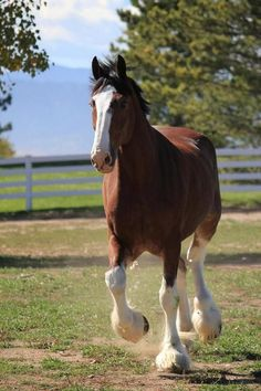 Clydesdale - Budweiser Farm. These are my fav....love them