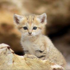 Este pequeño individuo es el gato de las arenas, el único tipo de gato que vive en el desierto. Pero esa no es su mejor característica. Esta criatura es el Peter Pan del reino animal, ¡no envejece nunca! Bueno, sí envejece, pero mantiene la apariencia de gatito toda su vida. #desierto #vida #arena #peterpan #gato #gatito #apariencia http://www.pandabuzz.com/es/animal-del-dia/gato-de-las-arenas