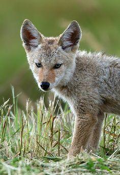 Coyote, by Garebear400