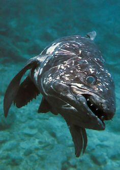 endangeredanimalblog:    The COELACANTH is referred to as a living fossil because it is the only remaining species of a group of fish species that died out millions of years ago. It is found in the deep coastal waters of eastern Africa, where rocky shores are battered by strong oceanic currents. A large fish, growing to a length of about 6 feet, and it moves along the rocky slopes with the help of fleshy pectoral fins. Populations  are thought to be critically low.