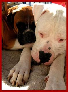 Dogo Argentino and a boxer