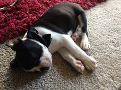 """Summit the Boston Terrier at 8 Week Old (Photo) - The owner of the dog is asking : """"Any advice of buying a crate for a growing BT?"""" http://www.bterrier.com/summit-the-boston-terrier-at-8-week-old-photo/"""