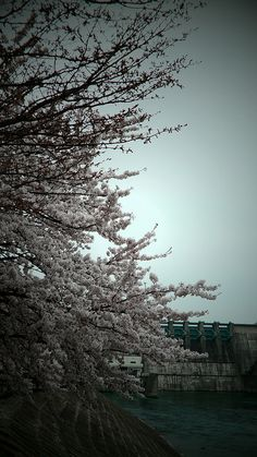 Cherry blossom tree #nature #photography