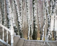 Birch Trees abound in our 7 panel PhotoMural. Easily accessorizing with modern black and white, our natural wood scene is sure to add depth and organic tranquility to your space. Perfect for bedrooms and bathrooms with natural wood furniture . http://www.amazon.com/JP-London-UMB91075-Prepasted-10-5-Feet/dp/B00FXR7QAW/ref=sr_1_36?s=hi&ie=UTF8&qid=1384200413&sr=1-36&keywords=jp+london+murals+umb