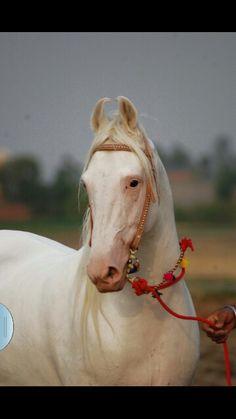 White marwari