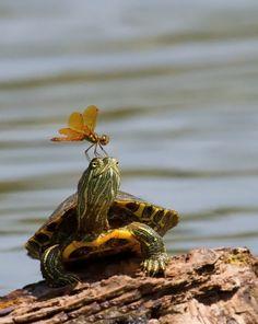Dragon On Turtle – Animals Cute Baby Turtles, Cute Baby Animals, Animals And Pets, Funny Animals, Turtle Care, Pet Turtle, Cute Tortoise, Tortoise Turtle, Kawaii Turtle