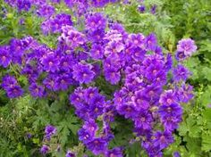 blue geranium - very common garden flower, comes in many varieties one of my favourites!