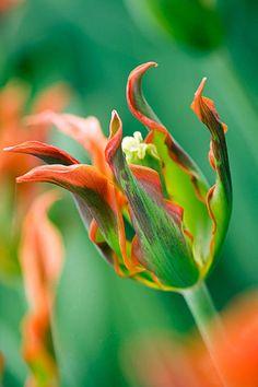 ~Tulip viridiflora 'eye catcher'