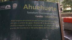 """Ahuehuete """"Taxodium mucranatum Ten."""""""