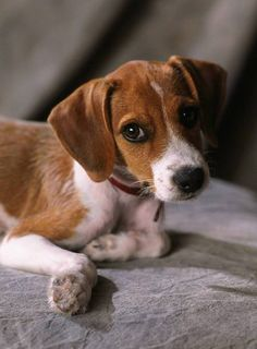 I would LOOOOVE a Jack Russell- Beagle mix