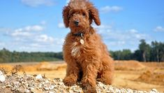 30 Of The Best Adorable Labradoodle Names - Dogtime Teacup Boston Terrier, Boston Terrier Rescue, Bull Terrier Dog, Teacup Chihuahua, Puppies Names Female, Female Dog Names, Puppy Names, Austrailian Labradoodle, Australian Labradoodle Puppies