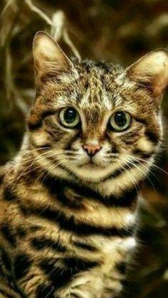 Cute Cats And Kittens, Big Cats, Crazy Cats, Kittens Cutest, Pretty Cats, Beautiful Cats, Animal Species, Domestic Cat, Love Pet