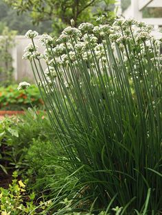 Chives  Chives are a delicious, useful herb. Snip them on top of baked potatoes, in salads, and on pasta. This herb will often self-seed when planted in the garden, but it also grows well in containers. Thanks to the pretty blossoms chives produce, they'll fit right in your flower or vegetable garden.