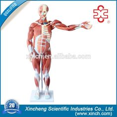 80cm Human Anatomy Muscle Model With 27 Parts