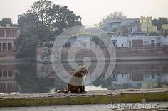Photo about A Macaca Monkeys sit a top a railing at Govind Khund in Govardhan North India. The misty air of the winter season gives this photo a nice effect. Image of brown, footed, eyes - 69520160 Macaque Monkey, North India, Winter Season, Monkeys, Pond, Bathing, Seasons, Stock Photos, Nice