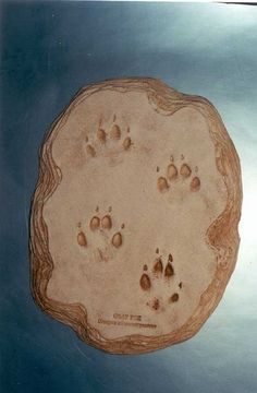 Gray Fox Footprints Cast Replica for sale at www.SkeletonsAndSkullsSuperstore.com. These replicas are ideal for educators, veterinarians and students.
