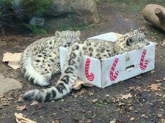 Snow leopard in a box