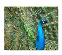 Peacock Print  Peacock Photograph Affordable by machelspencePHOTO