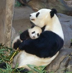 love you mum! Mother's Day in the animal kingdom for super-cute baby prairie pups, tigers and polar bears I can never resist a giant panda - especially when it's giving baby a hug.I can never resist a giant panda - especially when it's giving baby a hug. Cute Baby Animals, Animals And Pets, Funny Animals, Baby Pandas, Giant Pandas, Baby Panda Bears, Wild Animals, Animals With Their Babies, Mother And Baby Animals