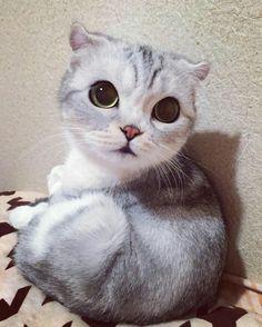 Hana, il gattino Scottish Fold con gli occhioni più belli del Giappone e non solo