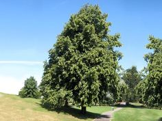 Tilia x europaea, Crimean Linden Common lime tree,  Mature Height: 40' to 60'. Mature Spread: 20' to 30'.
