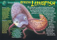 Name: African Lungfish Category: Strange Wonders Card Number: 70 Front: African Lungfish Strange Wonders card 70 front Back: African Lungfish Strange Wonders card 70 back Trading Card: None Wild Creatures, Fantasy Creatures, Living Fossil, Aqua Culture, Underwater Creatures, Marine Biology, Animal Cards, African Animals, Its A Wonderful Life