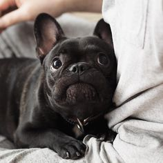 """""""The weather forecast said it's gonna snow tonight, so please be careful on your way back home, K Dad?"""" Buhi, the Sweetest French Bulldog Puppy"""
