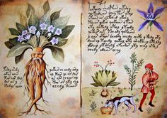 """""""The Mandrake is the 'Tree of Knowledge' and the burning love ignited by  its pleasure is the origin of the human race."""" – Hugo Rahner."""