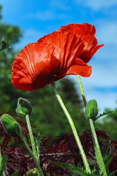 ✯ Big Red Poppies