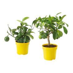 vattenrall plante aquatique ikea pour aquariums et vases plantes d 39 eau pinterest. Black Bedroom Furniture Sets. Home Design Ideas