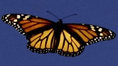 Great monarch butterfly migration mystery solved - BBC News. Scientists have built a model circuit that solves the mystery of one of nature's most famous journeys - the great migration of monarch butterflies from Canada to Mexico.  Monarchs are the only insects to migrate such a vast distance.  So, by teaming up with biologists, mathematicians set out to recreate the internal compass they use to navigate on that journey.