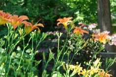 Daylilies - what can I mix with these in a border along a wooden fence?